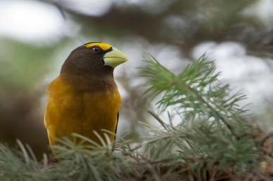 Evening_grosbeak_male_322