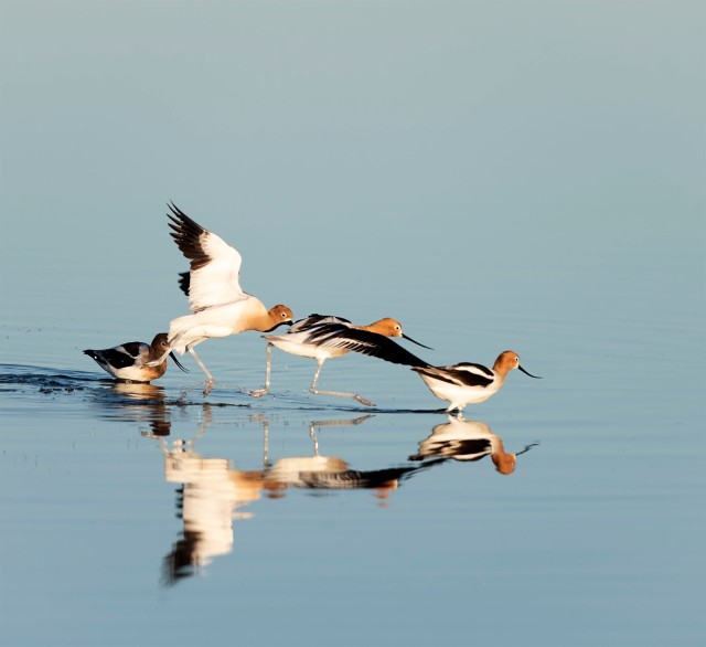 Four_Avocets_1