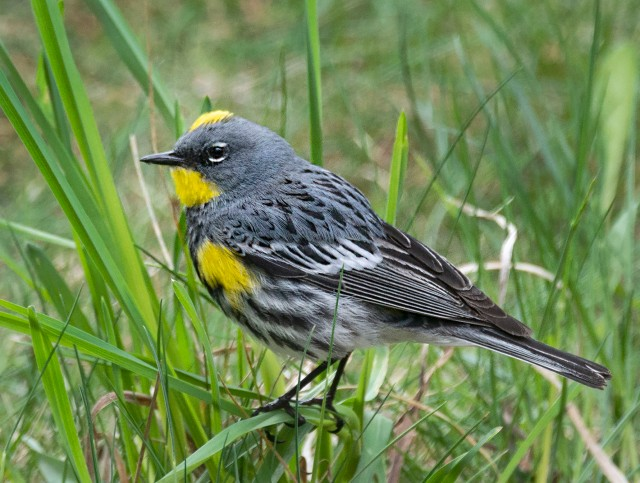 Yellow_rumped_warbler_male_9856