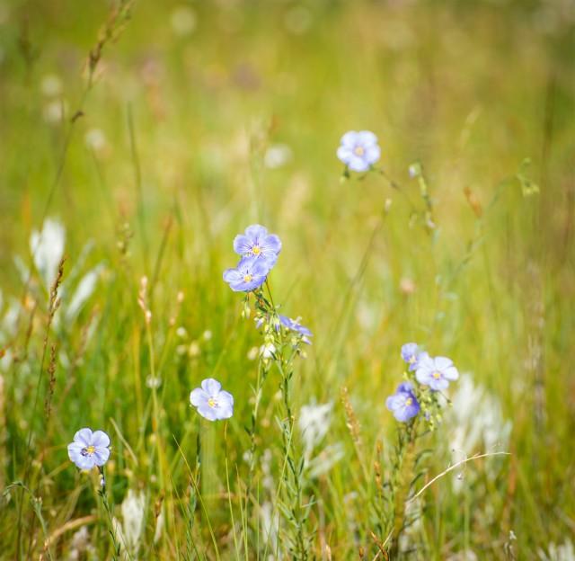 Blue_flax_1