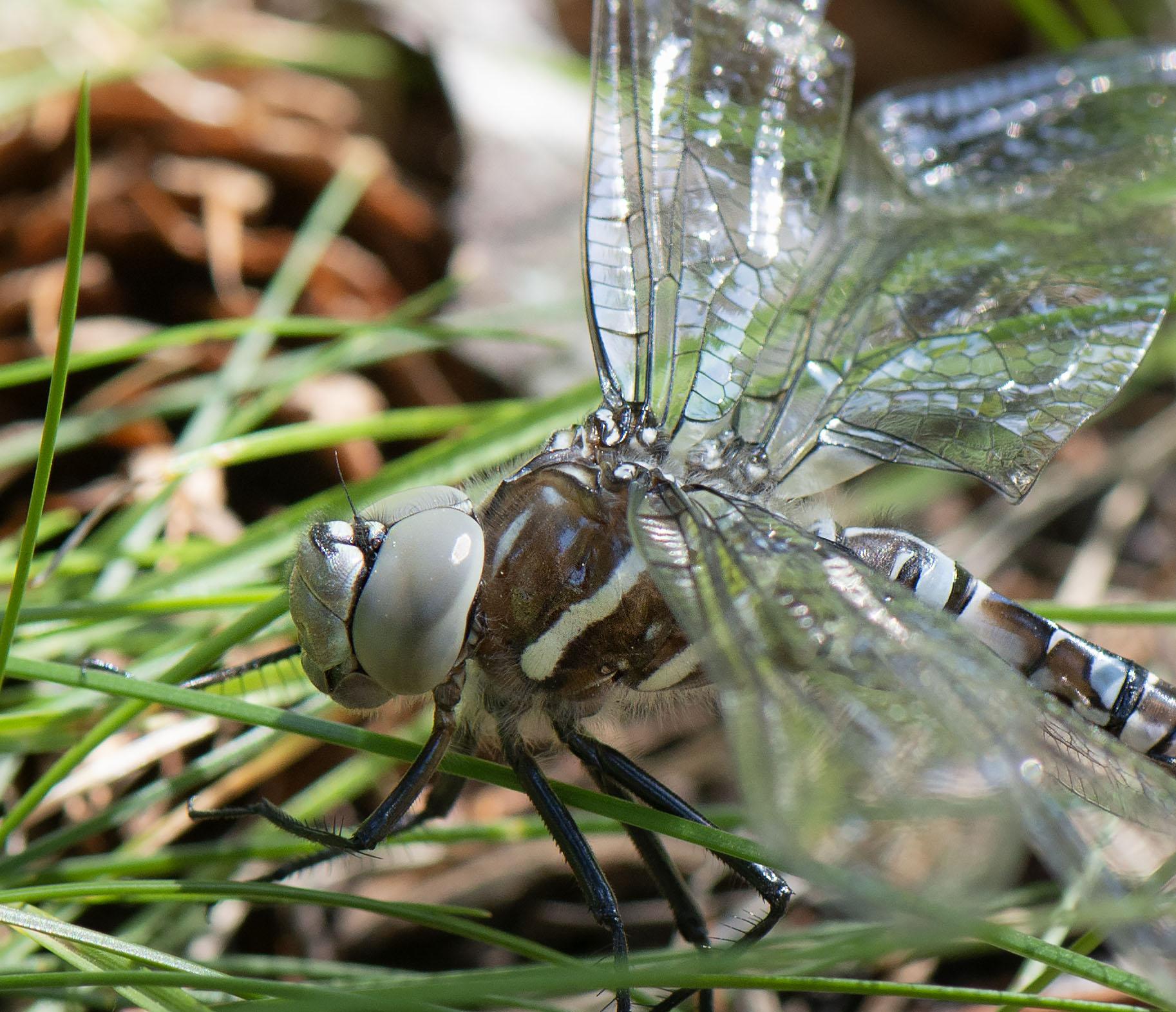 Dragonfly_3098