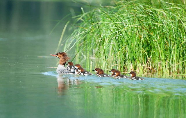 Eight_mergansers_1