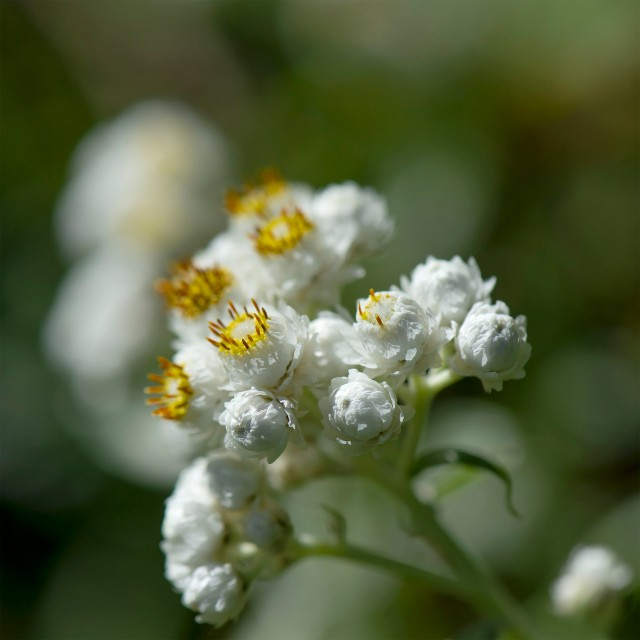 Pearly_everlasting_1037