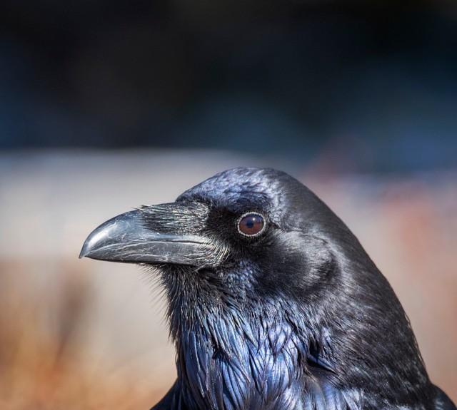 Raven_632