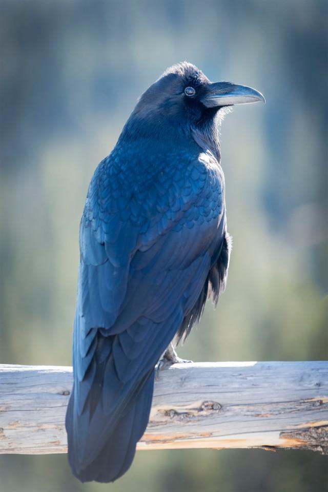 Raven_645_1