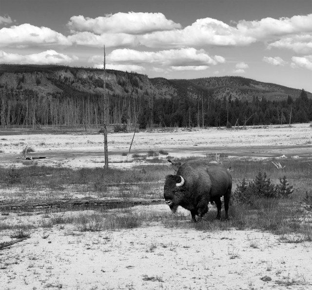 Yellowstone_bw_34168