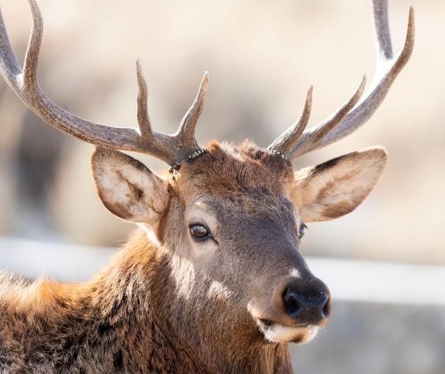 Bull_elk_02314545