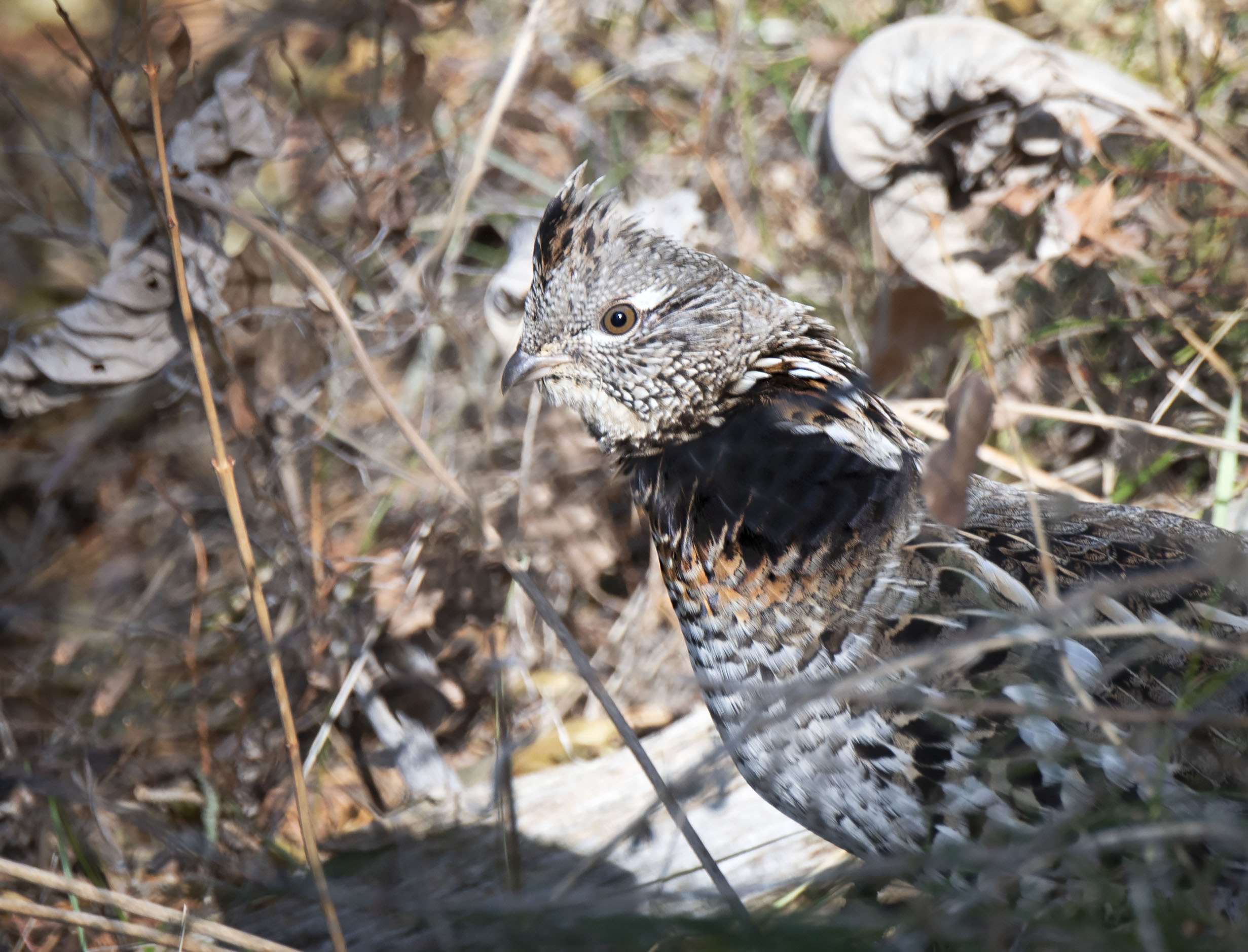 Male_ruffed_grouse_12094