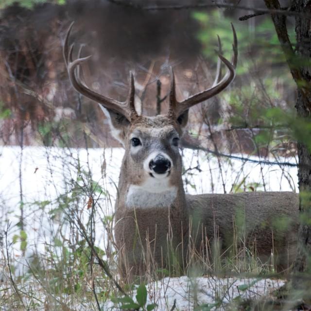 Mule_deer_buck_120945