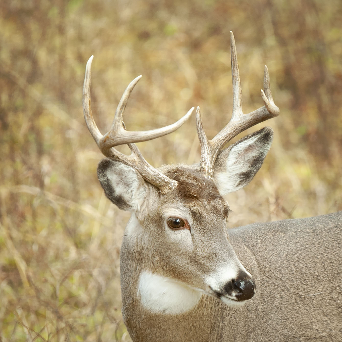 White_tailed_buck_09123