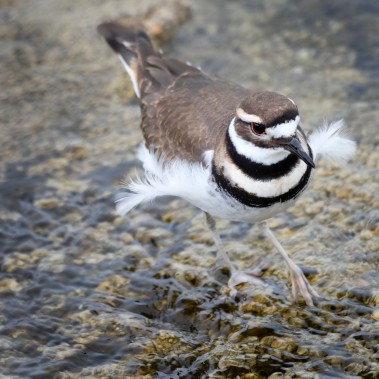 Killdeer_09231