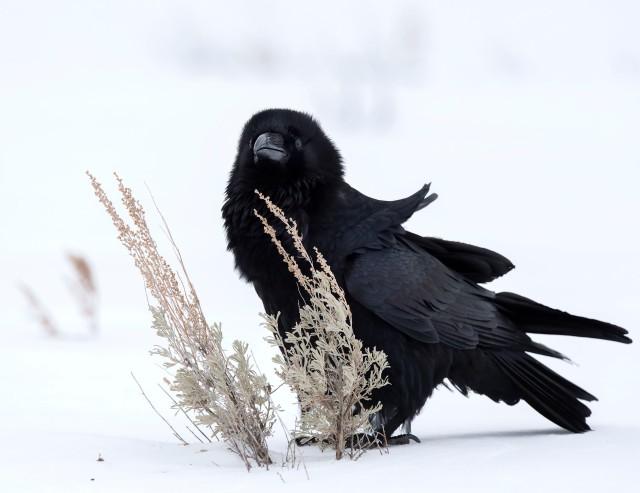 Winter_raven_2314