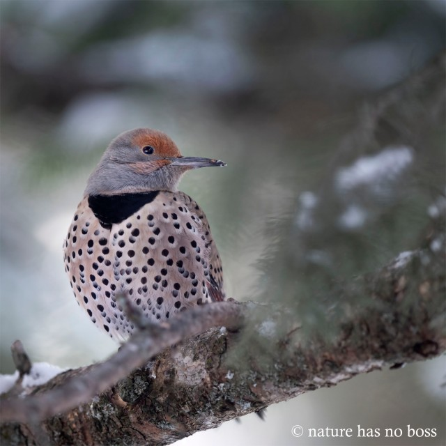 Female_flicker_01212