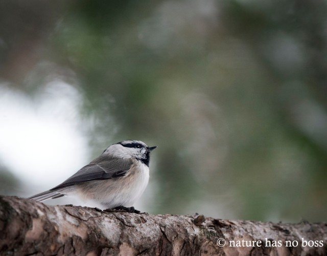 Mountain_chickadee_23143