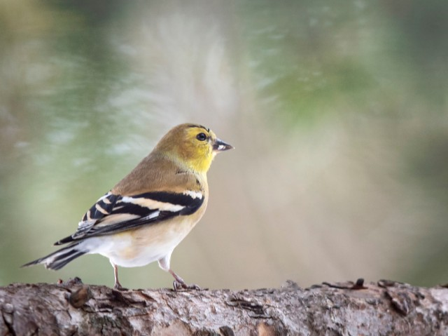 WInter_goldfinch_12154