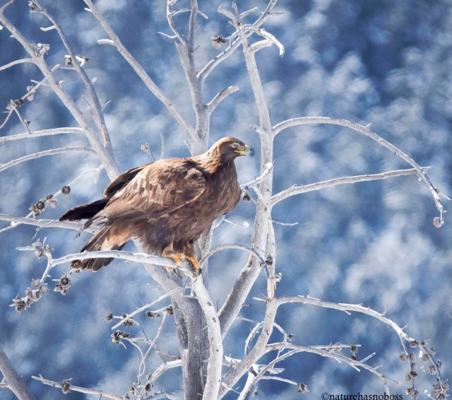 Golden_eagle_091234