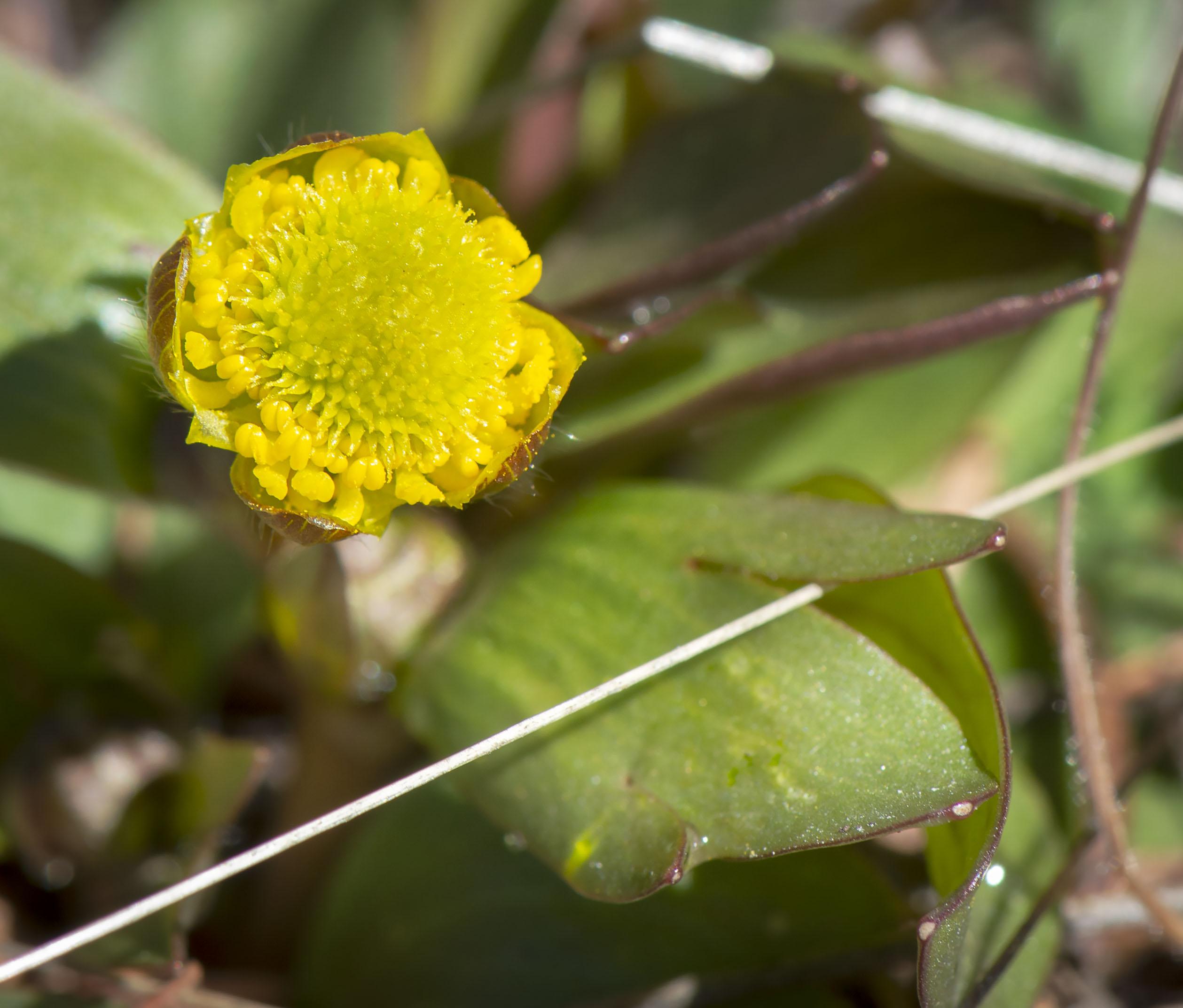 buttercups_198