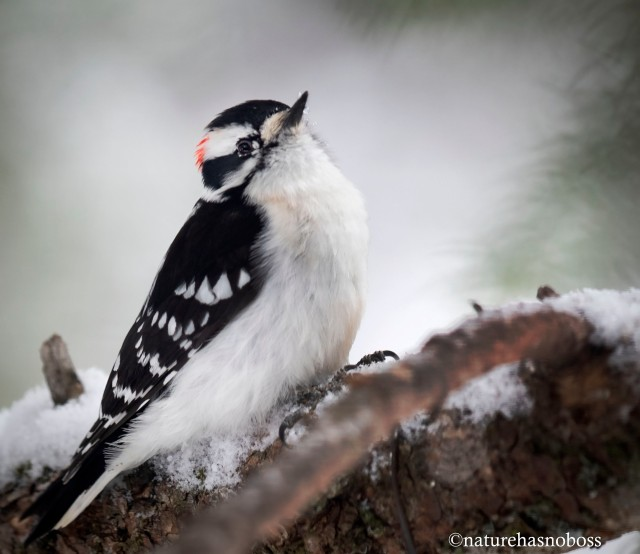Downy_woodpecker_121987
