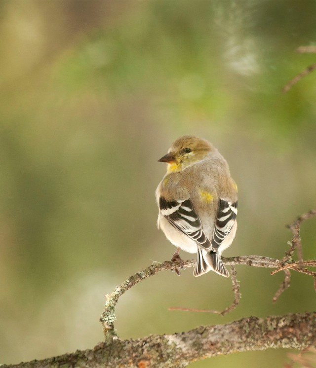 GOldfinch_56231