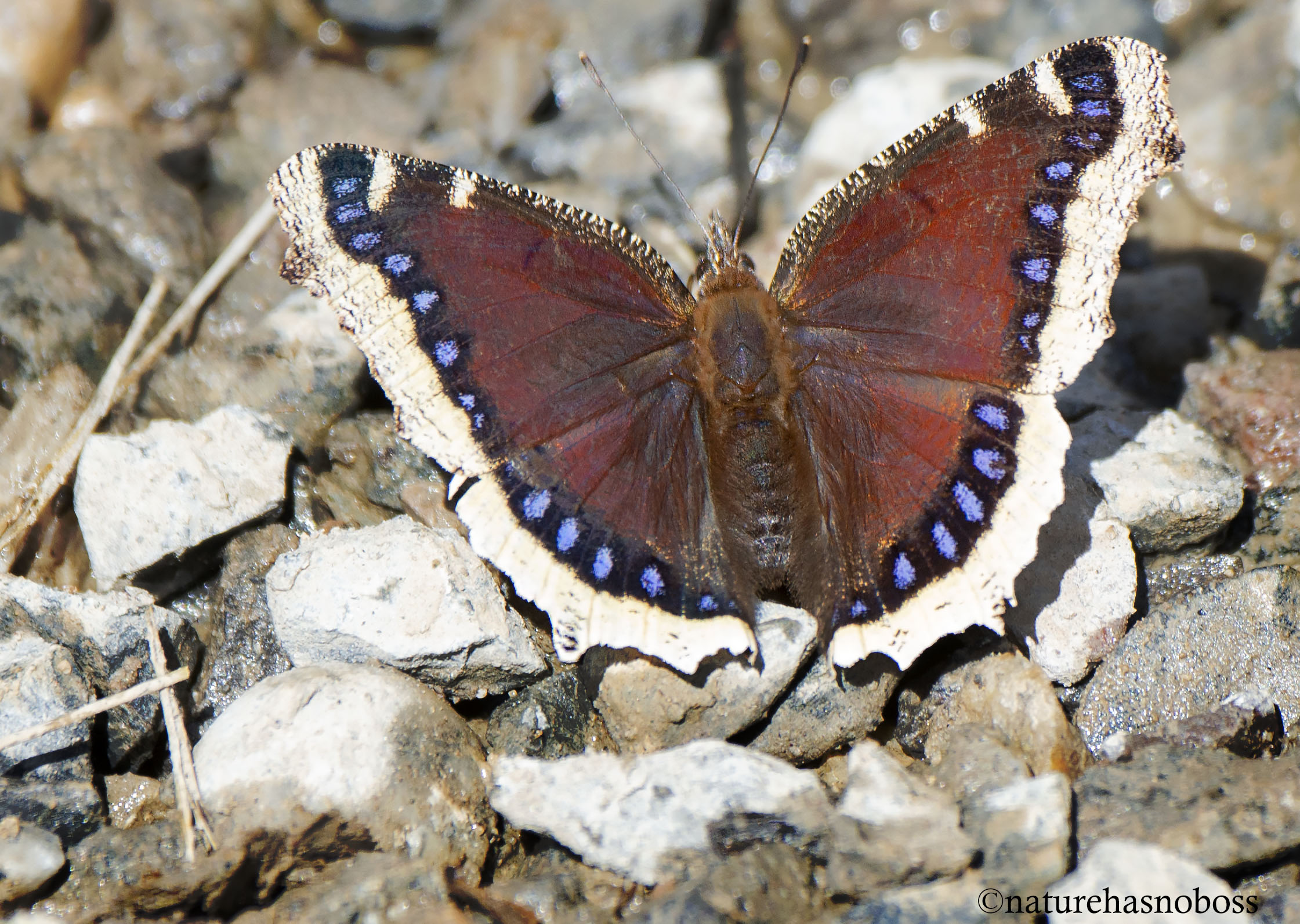 Mourning_cloak_231435
