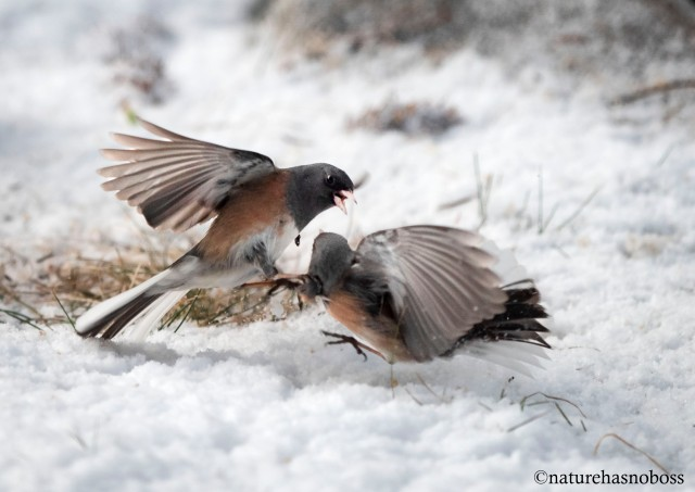 Junco_tustle_1