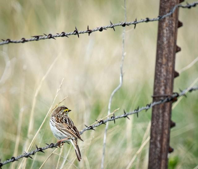 Savannah_sparrow_1