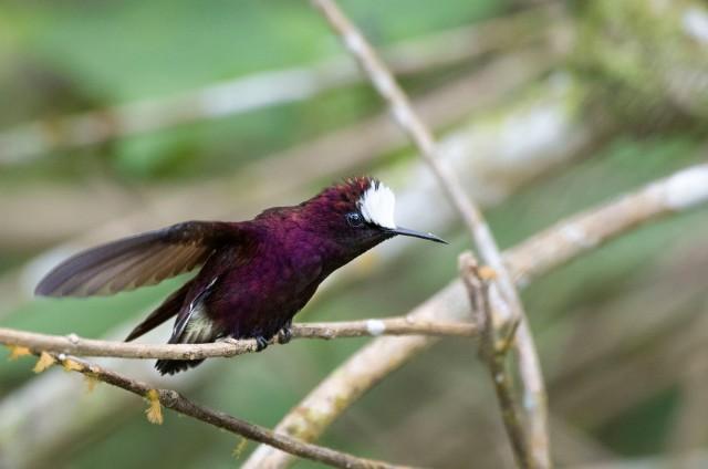 SNowcap_hummingbird_12143