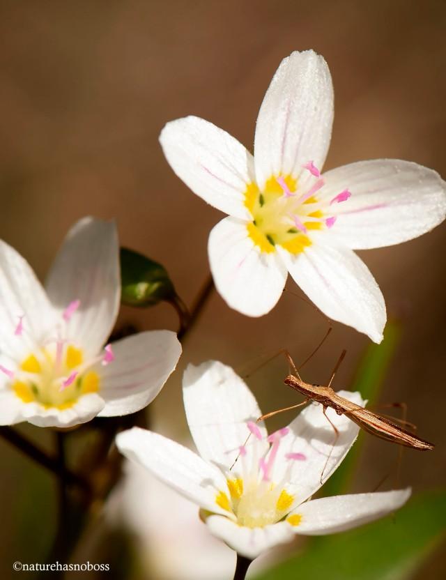 Spring_beauties_2