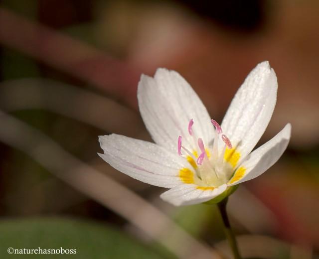 Spring_beauties_3
