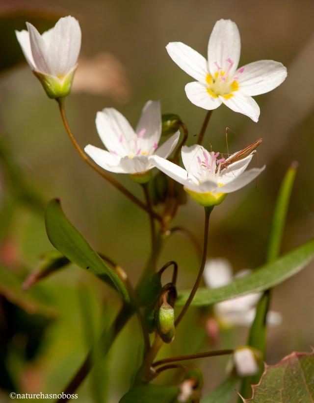 Spring_beauties_4