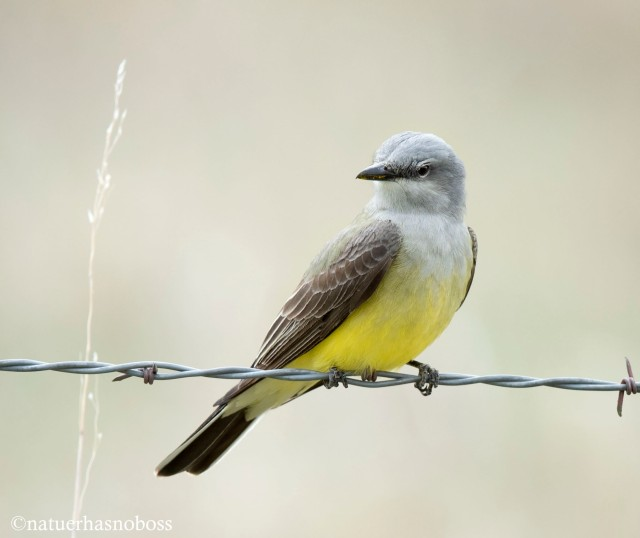Western_kingbird_09121987 copy