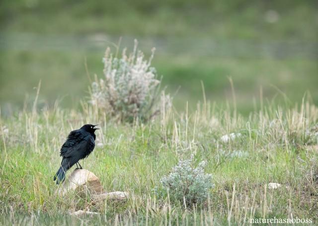 Blackbird_singing_6712 copy