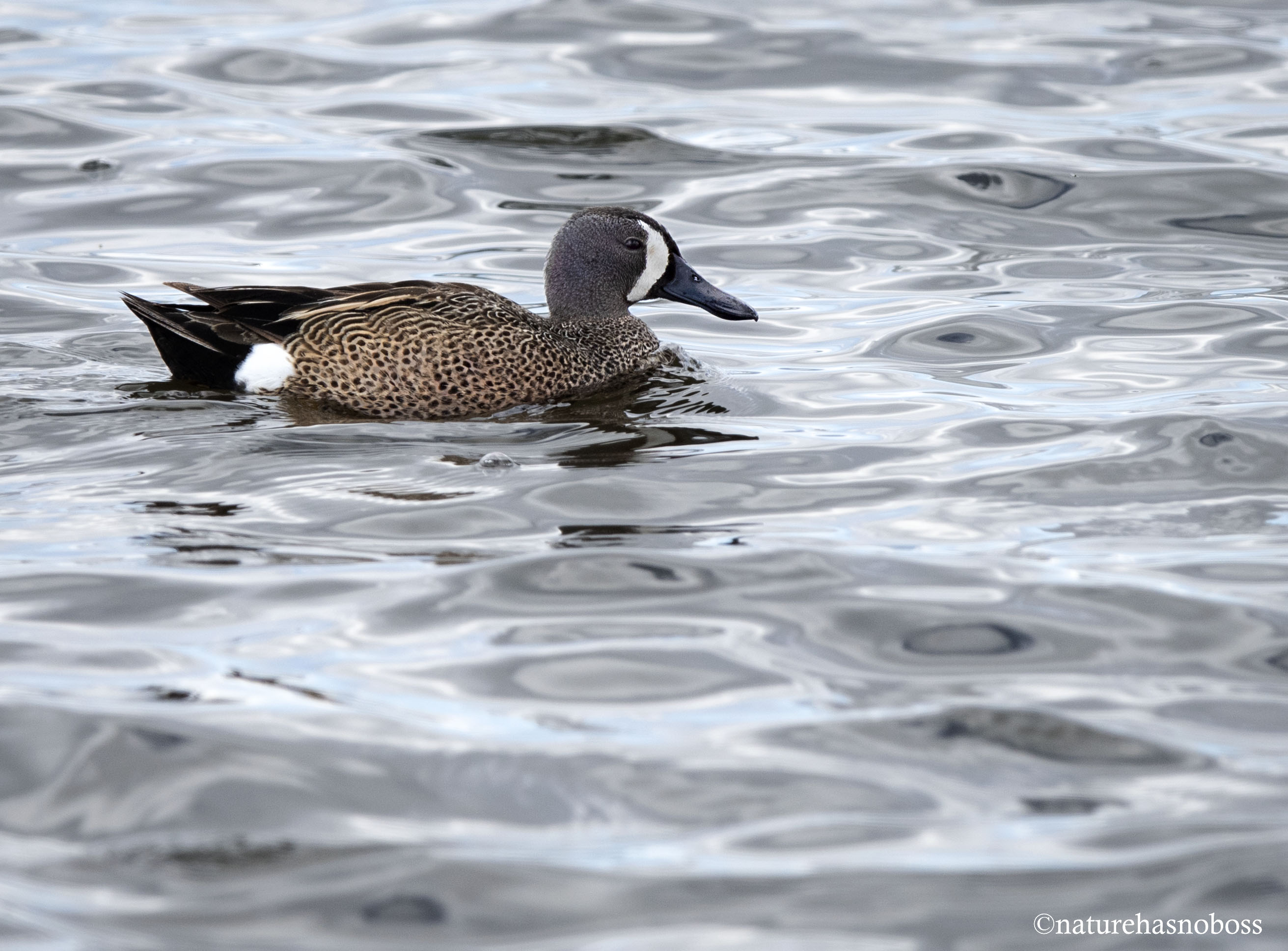 Blue_winged_teal_561209