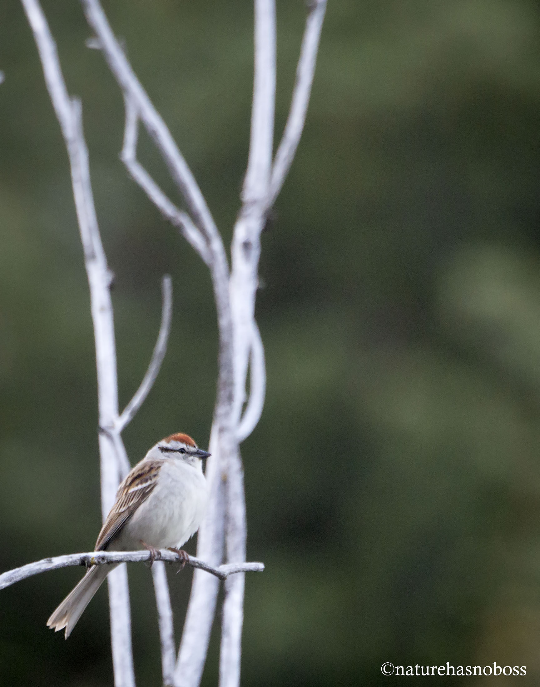 Chipping_sparrow_901212