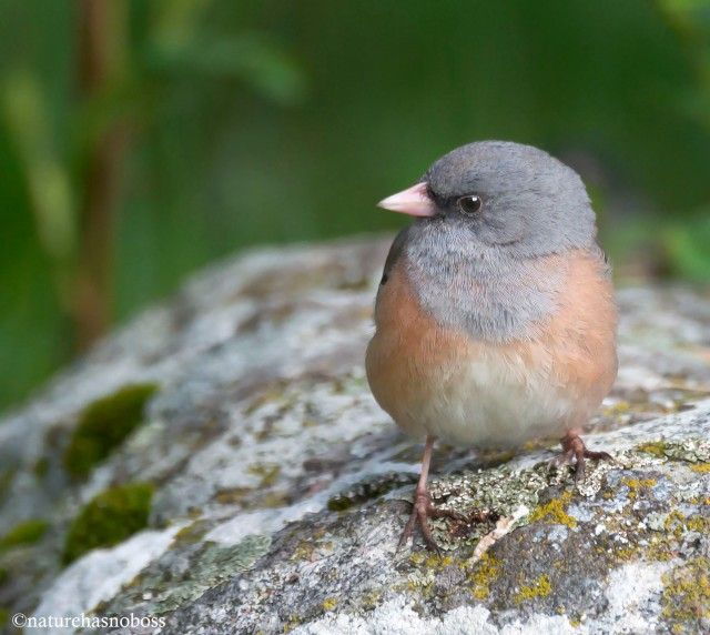 Junco_portrait_126734