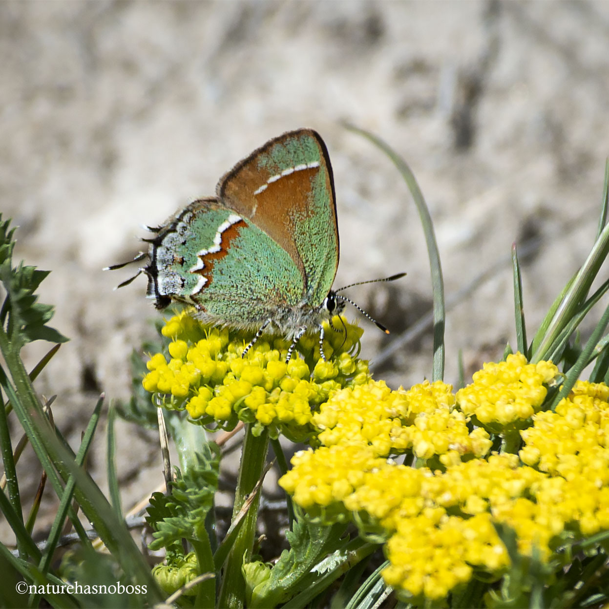 Juniper_hairstreak_901276 copy