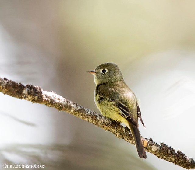 Least_flycatcher_126734 copy