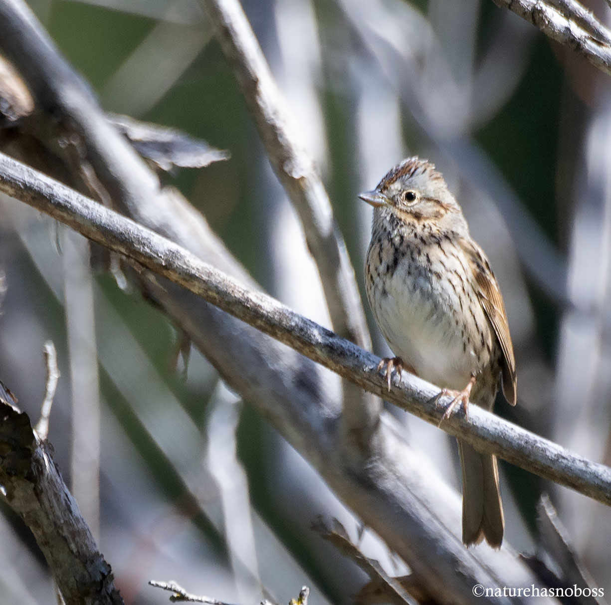 Lincoln_sparrow