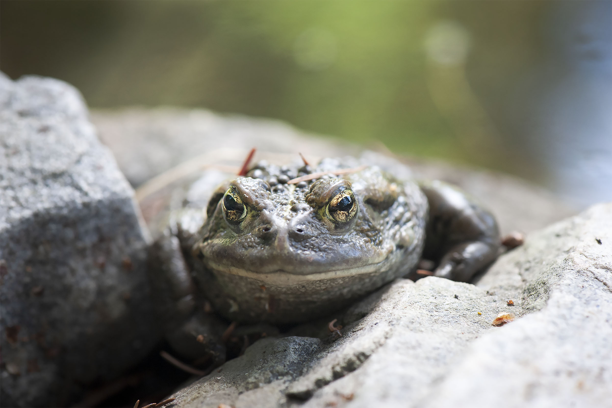 Toad_9012