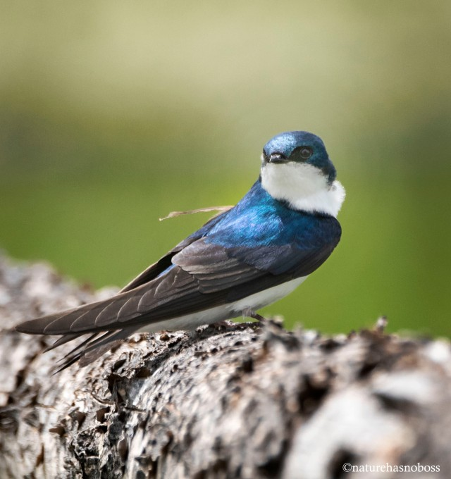 Tree_swallow_7823