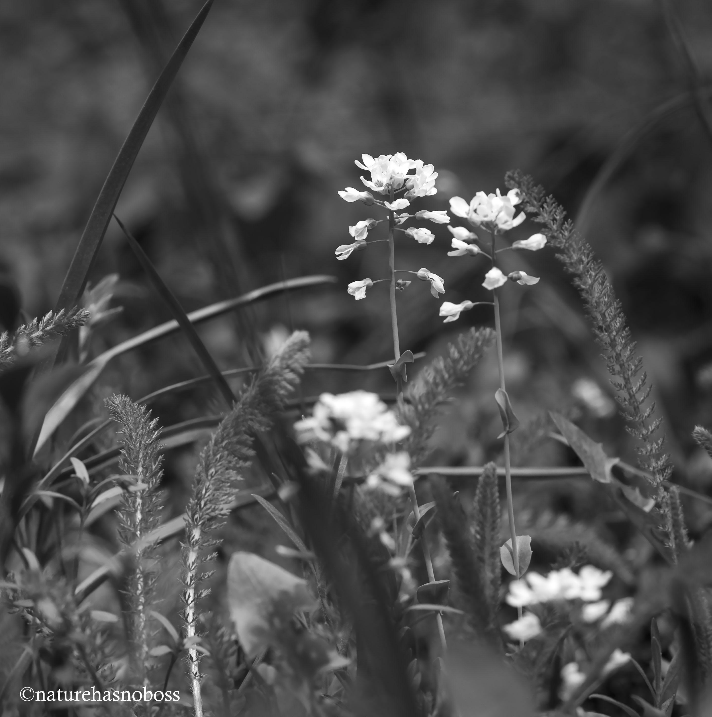 Wildflower_monochromes_672312 copy