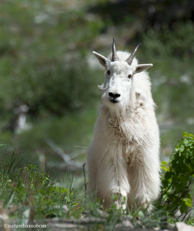Mountain_goat_781209