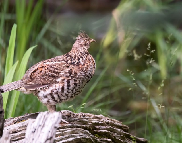 Ruffed_grouse_901298