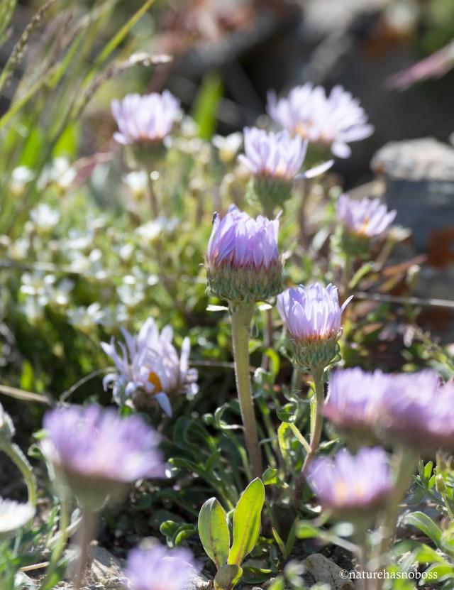Alpine_garden_11 copy