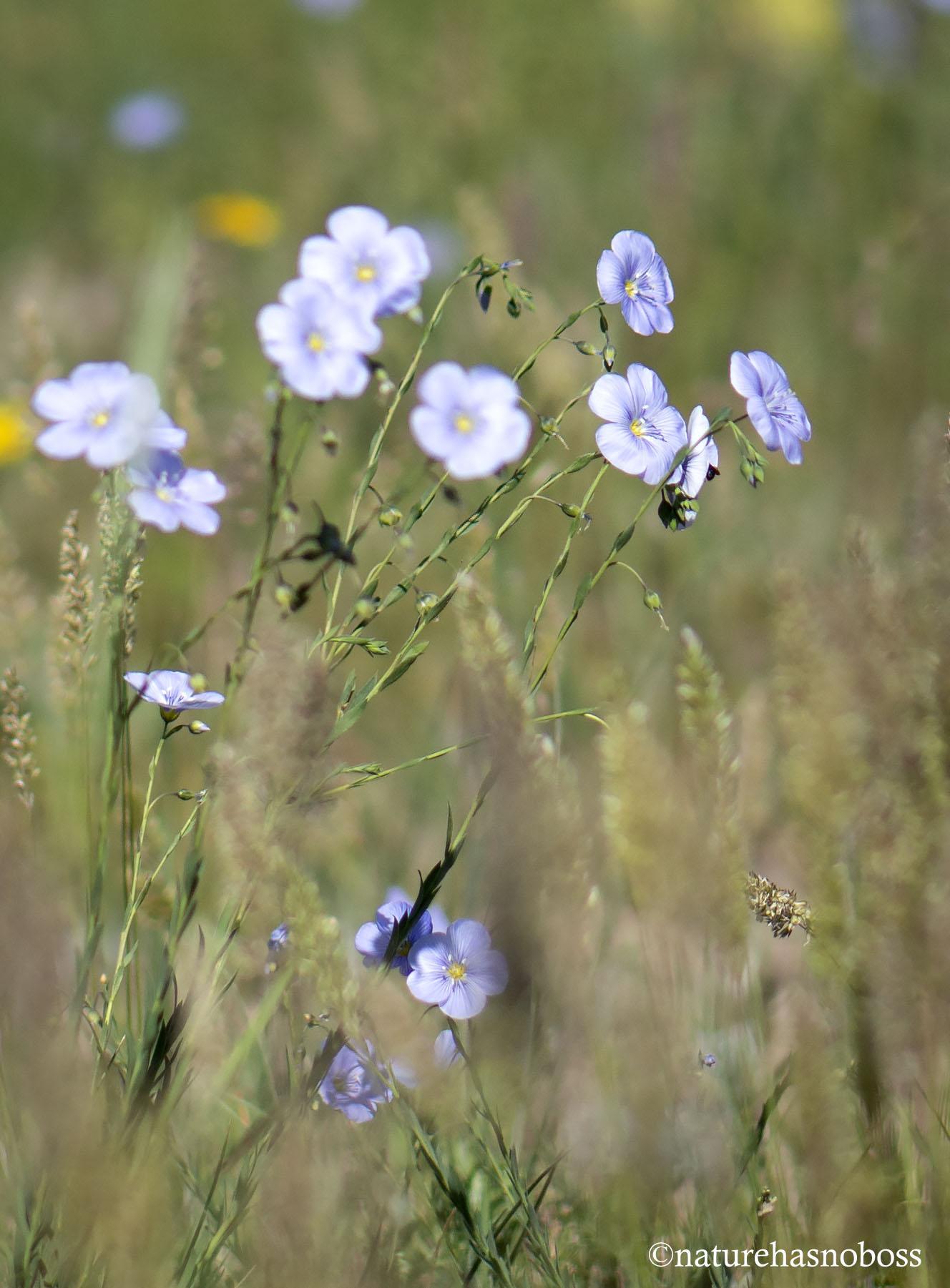 Blue_flax_4 copy